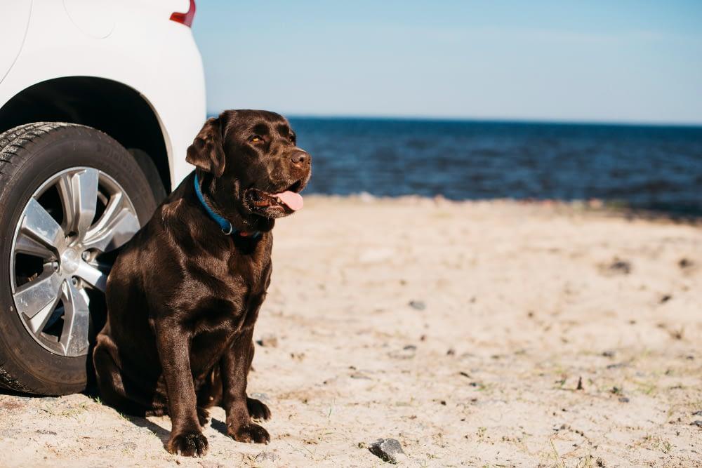 Black Dog Having Fun Beach