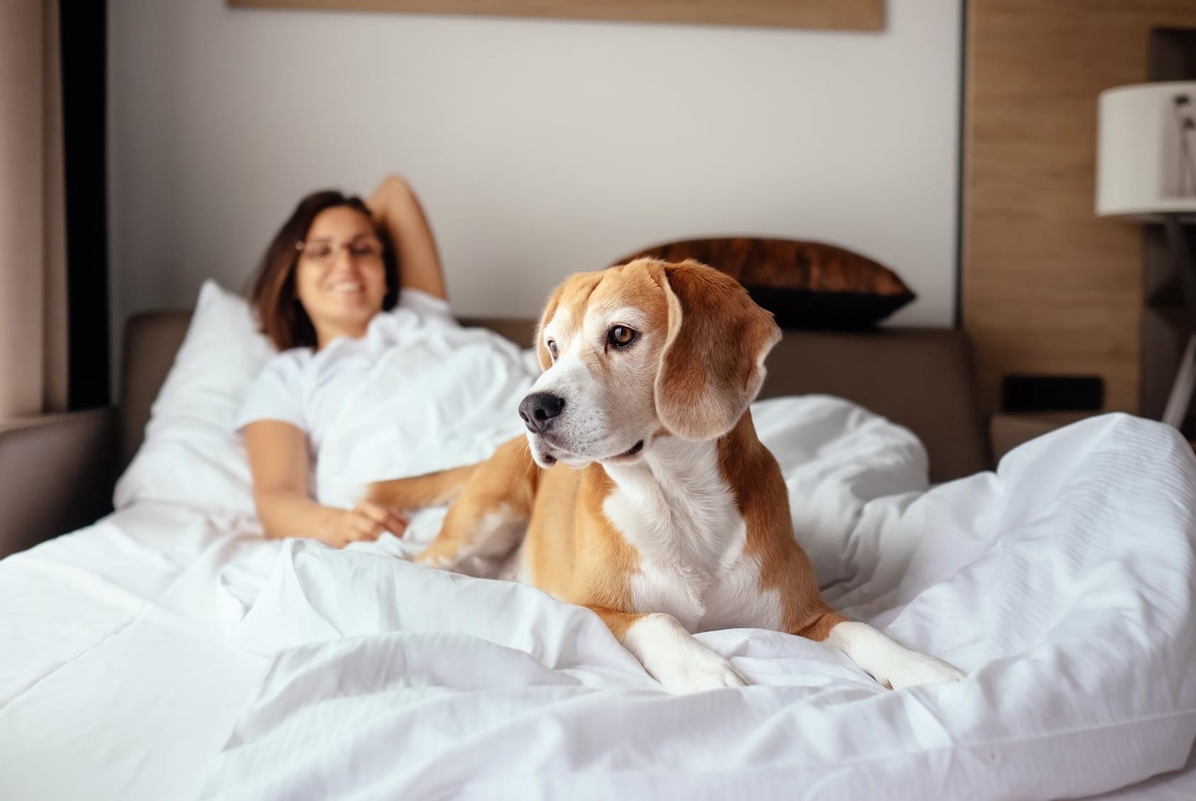 Beagle Sur Un Lit