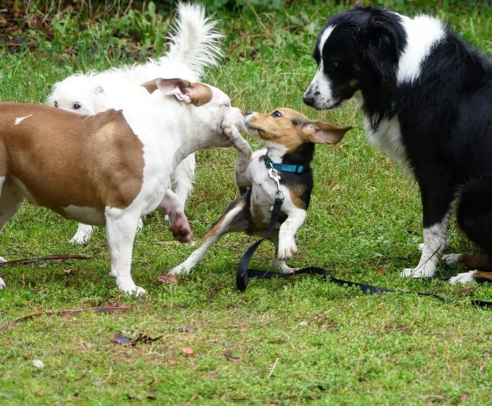 Education Canine Nice Comportamentalisme1