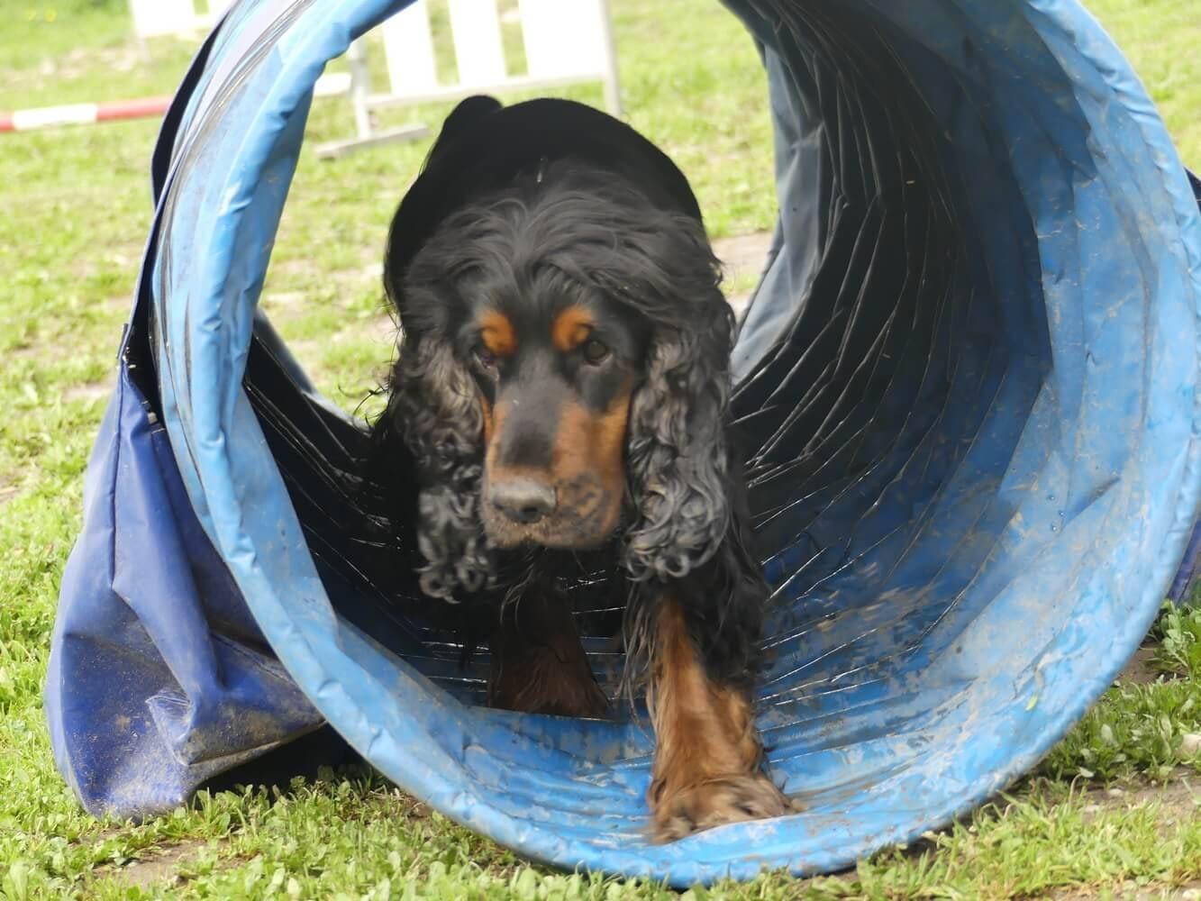 Education Canine06 Initiation Agility 4